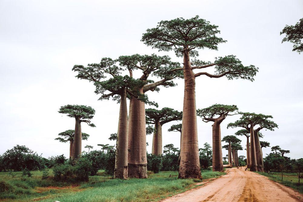 To Baobab or Not?